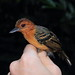Percnostola rufifrons Black-headed Antbird F