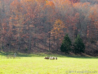 Rounding up the sheep surrounded by autumn color 5 - FarmgirlFare.com | by Farmgirl Susan