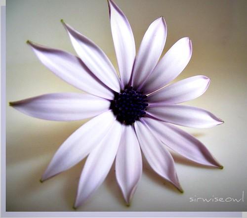 White Daisy Kitchen Decor
