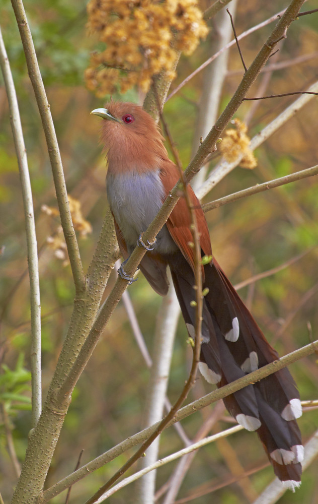 Squirrel Cuckoo Alma-de-gato (Squirrel...