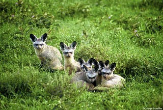 Bat Eared Foxes | by Panthera Cats