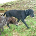 Google and 'Quest,' another scat detecting dog, in the field