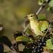 _53F7566 Blackpoll Warbler