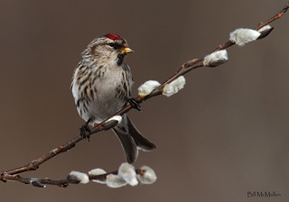 Redpoll on Willow | by Bill McMullen