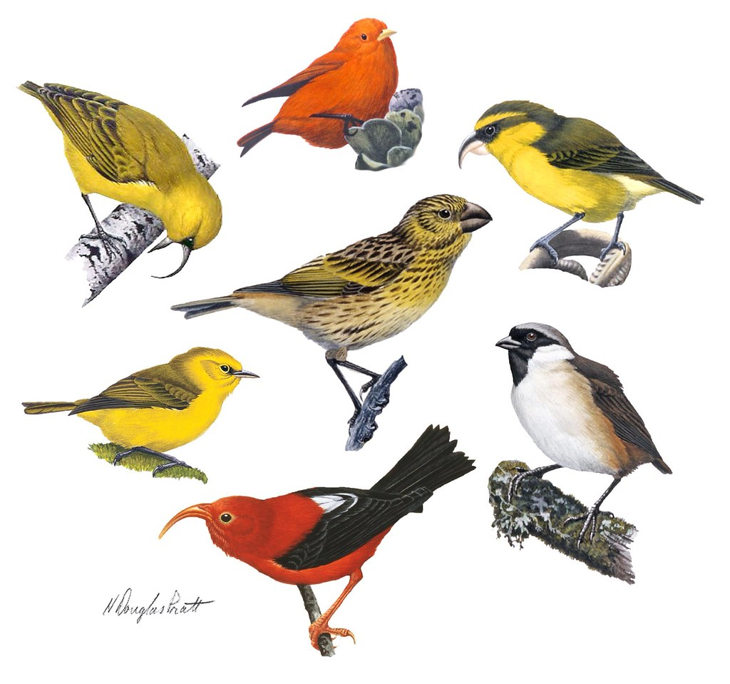 Honeycreepers Illustrated Is A Juvenile Laysan Finch
