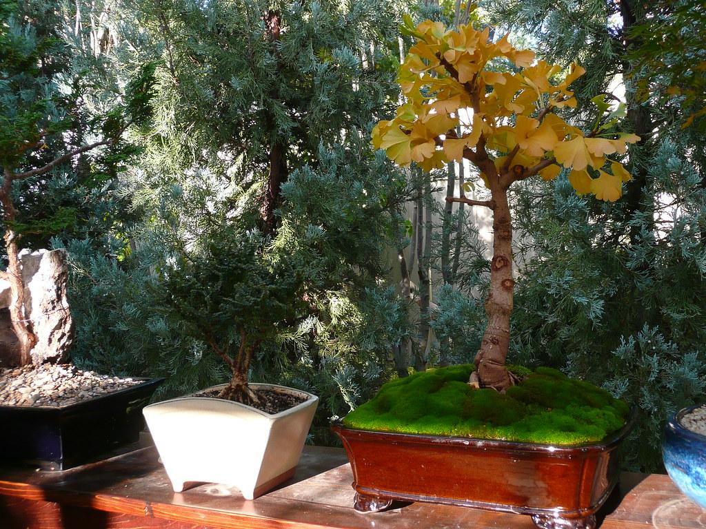 ginkgo biloba 39 mariken 39 bonsai fall color japanesemaplegarden flickr. Black Bedroom Furniture Sets. Home Design Ideas