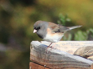 Oregon Junco 20111114 | by Kenneth Cole Schneider