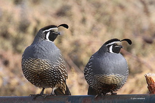 California Quail | by calljohn1