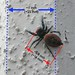 Red Jumping Spider 4 (annotated)