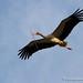 Nest builder ... White Stork in flight