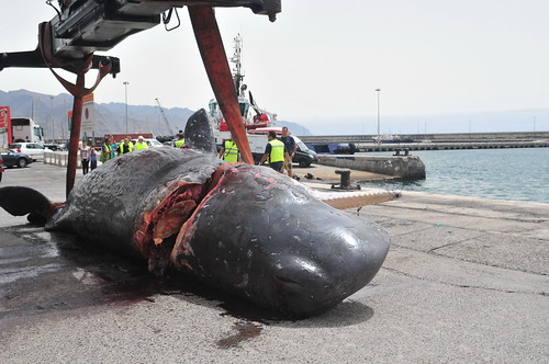 Sperm Whale struck by vessel | by Environmental Investigation Agency (EIA)