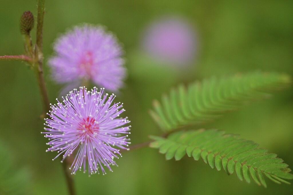 Pink puffball flower mimosa pudica beng mealea cambodia flickr pink puffball flower mimosa pudica by joka2000 mightylinksfo