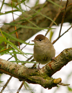 Female Blackcap - Newry Canal | by Alistair Prentice.