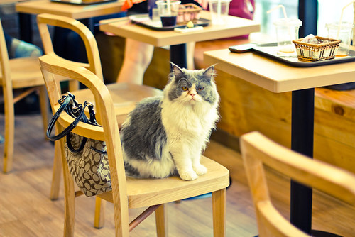 Cat in Chair at Cat Cafe | by ceruleansky
