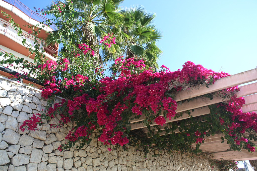 Bougainvillea Bougainvillea Bougainvillea Glabra One