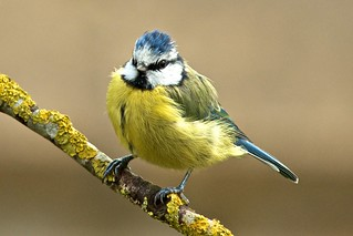 Blue Tit | by stanley.ashbourne