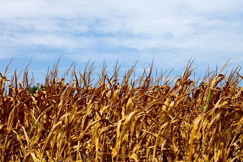 corn and blue sky | by bionicteaching
