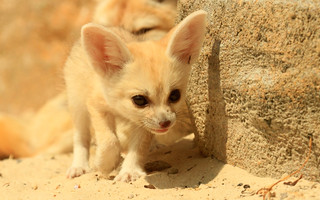Fennec Fox Cub | by TenPinPhil