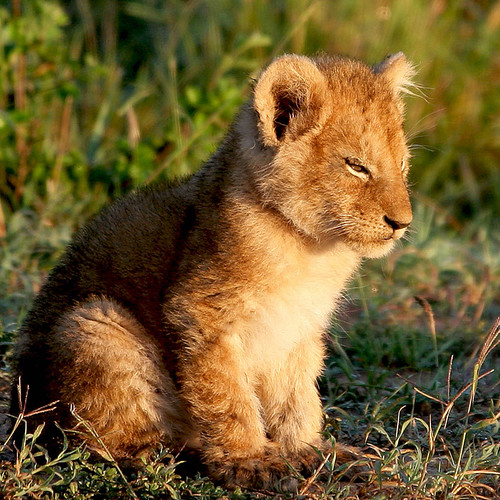 Lion cub in Masai Mara | by regina_austria