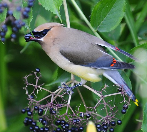 Cedar Waxwing 2 | by ThomasD300