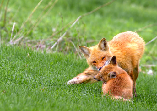 Une mère renard et son petit - A mother fox and her cub | by Indydan