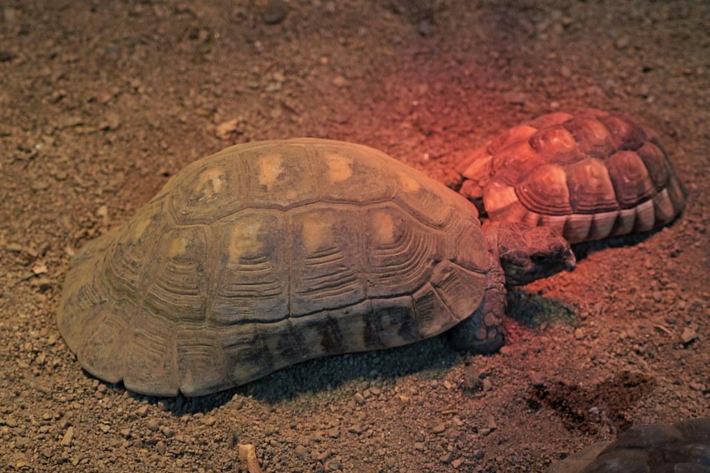 Marginated Tortoise Care Marginated Tortoise