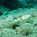 Sea Slug (Ardeadoris egretta)
