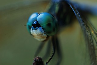Supremely patient Dragonfly | by Zoom Lens
