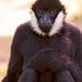 Sitting black male gibbon