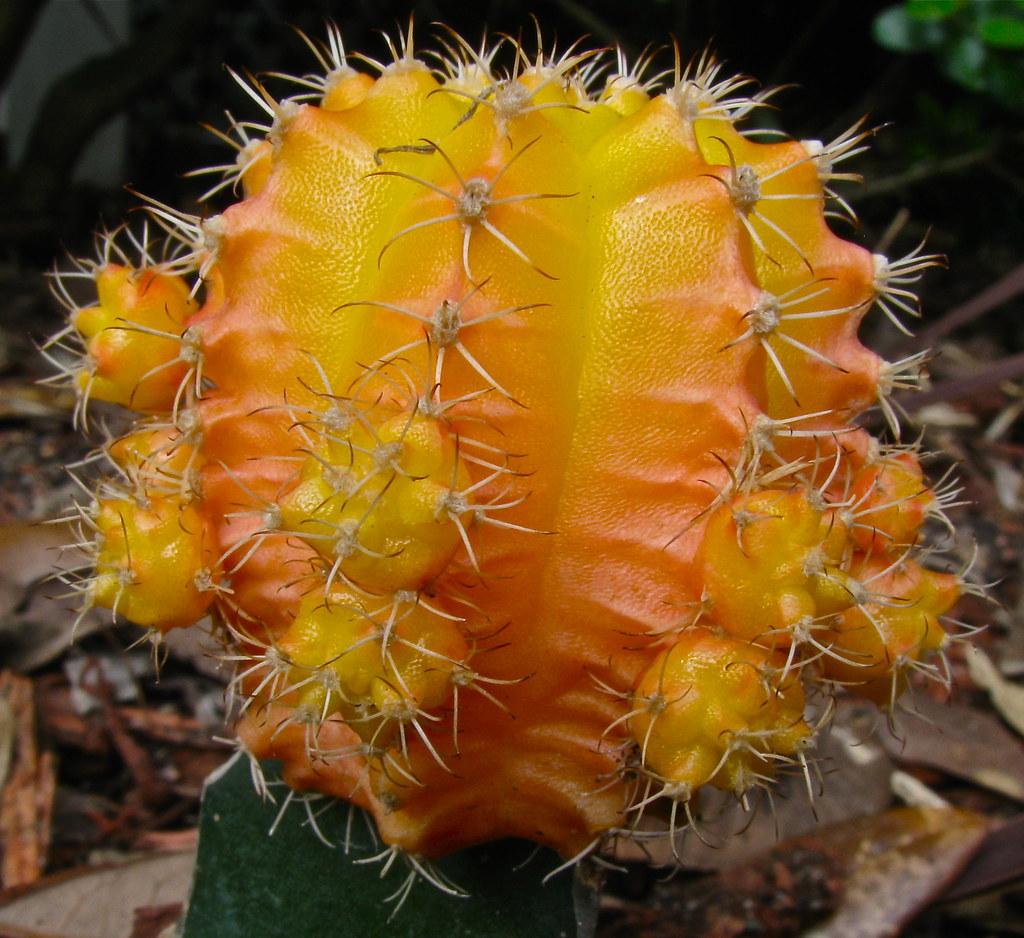 Orange And Yellow Cactus Seen In A Narrow Garden Next To