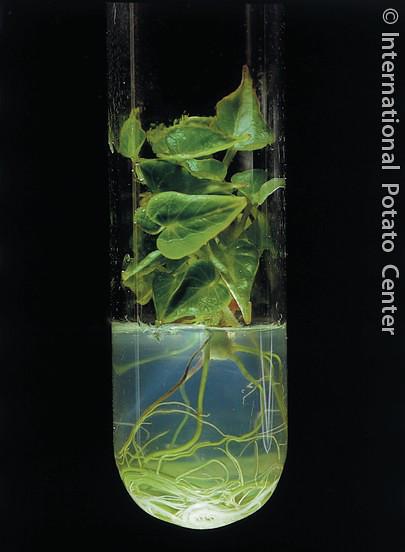 Cheap Gas Finder >> In vitro sweetpotato plant / Planta in vitro de camote / b ...