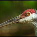 Crane_Brandywine Zoo_Wilmington,Delaware
