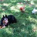 Lucky Buddy Bear on chicken alert - sort of (2)