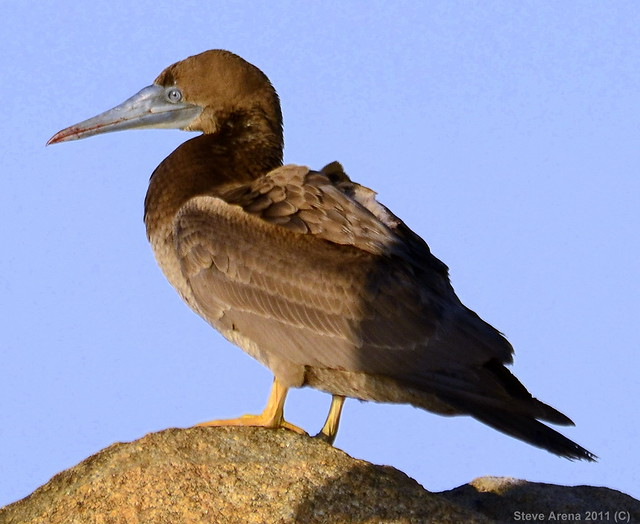 Brown booby immature - photo#14