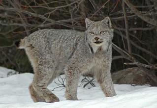 Coyote Cat Like
