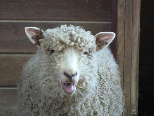 Cotswold Sheep #3 | by Maryland Zoo