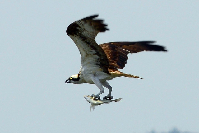 Osprey catching fish five flickr photo sharing for Osprey catching fish
