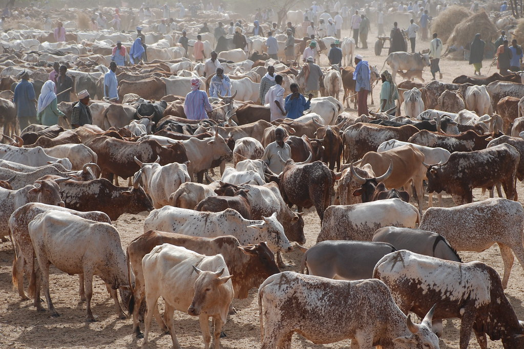 Garissa Cattle Market In Dry Areas Pastoralism Is Often