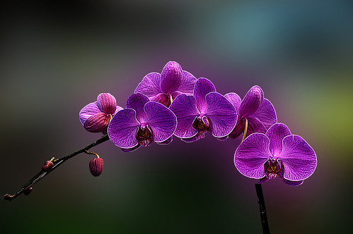 DSC_0431_380 Orchid V 31 | by tsuping.liu