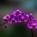DSC_0431_380 Orchid V 31