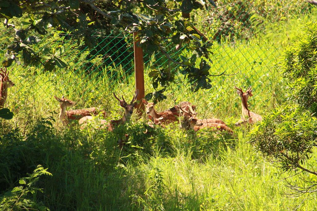 墾丁的梅花鹿復育工作比較成功。圖片來源:國家公園署