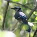 Blue Jay 20110914