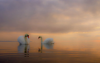 An evening with Mute swans | by Master Pedda http://petersamuelsson.se/