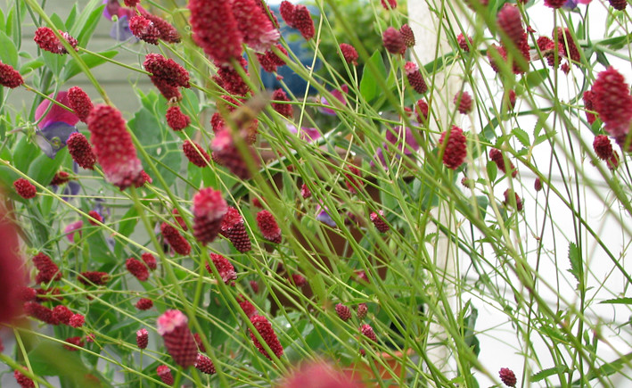 Sanguisorba officinalis 39 red thunder 39 img 5067crpmed flickr for Sanguisorba officinalis red thunder