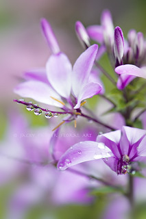 Sweet summer drops | by Jacky Parker Flower Photography
