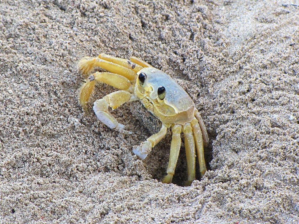 Tropical Island Beach Ambience Sound: This Sand Crab (Ocypode Quadrata) Also Known
