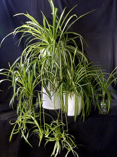 Spider plants growing in sub-irrigated planters made from recycled containers | by GreenScaper