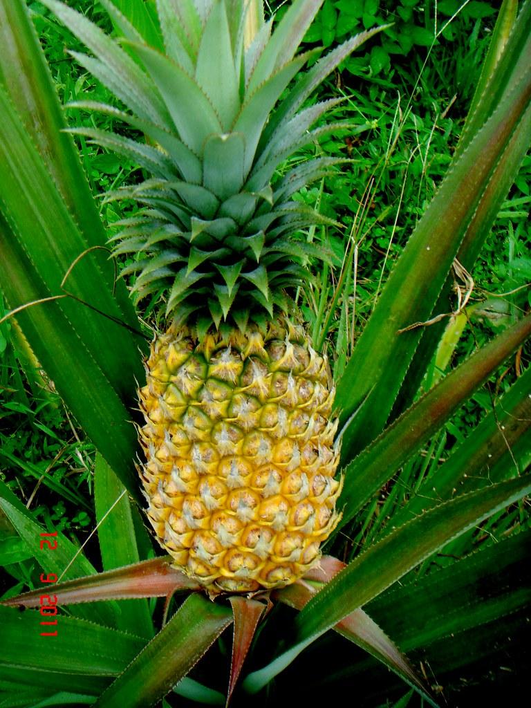 ananas comosus  l   merr  cv mauritius meru