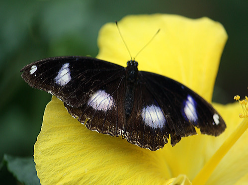 Great eggfly butterfly 58 | by mishaleppert