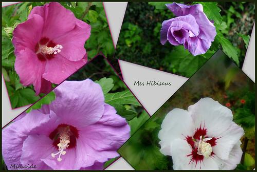 Les Hibiscus du jardin  Au gré de mes balades, je récolte ...